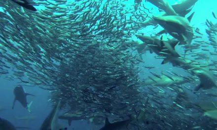 Simpatia per le sardine